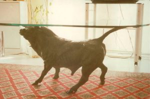 Bronze-table-stand-in-the-shape-of-bull-Toro-Tavolo-code-61-c-cm64x100x62-year-1996